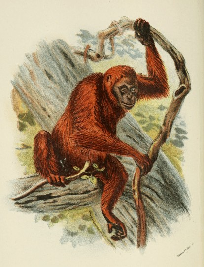 henry forbes a handbook to the primates 1897 plate xxxix